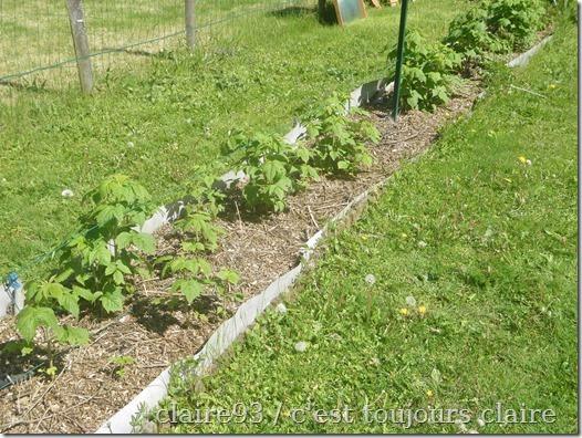 garden 08 raspberries